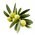 Olivenfrugtekstrakt
