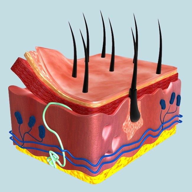 Bagom hår (oprindelse, hårvækst og -tab)