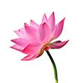 Lotus ekstrakt